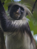 Portrait of a Red Colobus Monkey in a Tree