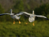 American White Pelicans Coming in for a Landing