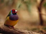 Brilliant Plumage of an Endangered Gouldian Finch Roosting
