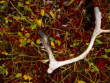 Caribou Antler in Tundra