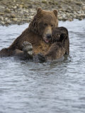 Brown Bear Taking a Bath in a River