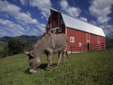 Donkey Grazing Near a Large Red Barn