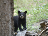 American Black Bear (Ursus Americanus) First Year Cub