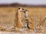 Pair of Meerkats, Suricata Suricatta