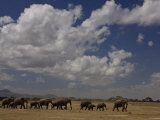 Herd of African Elephants Moving across a Plain