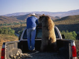 Trainer and His Grizzly Bear in the Back of a Pick-Up Truck
