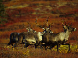 Three Caribou Amid Tundra in the Fall