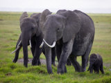 African Elephants with Calf on Green Grassland