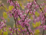 Redbud Trees Budding in the Spring in the Stanislaus National Forest