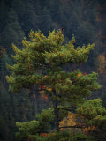 Pine Tree with Backdrop of a Forest-Covered Mountain