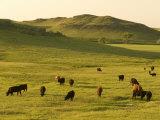 Cattle Grazing on the Hills Near Killdeer, North Dakota
