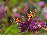 American Painted Lady Butterfly, Vanessa Virginiensis, on Flowers