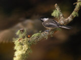Black-Capped Chickadee, Parus Atricapillus, on Lichen-Covered Branch