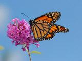 Monarch Butterfly, Danaus Plexippus, Visiting Flowers