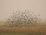 Flock of Birds Swarming a Field in North Dakota