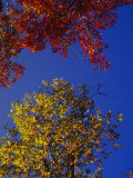Oak Leaves in Fall Colors Against a Bright Blue Sky