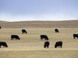 Herd of Cattle Graze in a Field