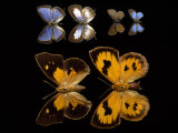 Male and Female Specimens of Butterflies