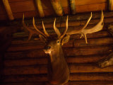 Mule Deer Head and Antlers Hanging Inside a Hunting Cabin