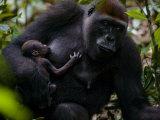 Western Lowland Gorilla Mother Breastfeeding Her Infant