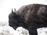Buffalo Bracing Himself Against the Snow
