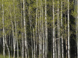 Stand of Aspen Trees at Wolf Creek Campground