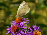 Cabbage Butterfly, Pieris Rapae, Visiting a Purple Flower