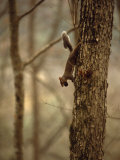 Eastern Gray Squirrel on a Tree Trunk, with a Nut in it's Mouth