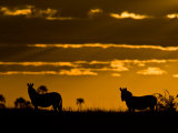 Two Burchell's Zebra Silhouetted at Twilight