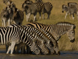 Herd of Burchell's Zebras Drinking at a Watering Hole