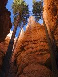 Utah, Bryce Canyon National Park, Douglas Fir Trees in Slot Canyon, USA