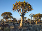 Quivertrees in a Forest, Close to the Southern Kalahari, Namibia