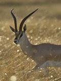 Grant's Gazelle, Masai Mara National Reserve, Kenya, East Africa, Africa