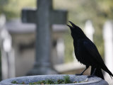 Crow on a Grave, Paris, Ile De France, France, Europe
