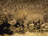 Black Rhino, Cow and Calf, Drinking at Night, Okaukuejo Waterhole