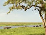 Elephants Bathing Late Evening, Chobe National Park, Botswana, Africa