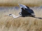 Grey Heron, in Flight, Etosha National Park, Namibia, Africa