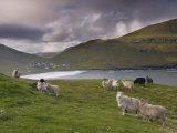Sheep, Husavik Bay and Village in Background, Sandoy, Faroe Islands, Denmark, Europe