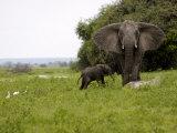 Elephant and Newly Born Calf, Chobe National Park, Botswana, Africa