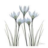 White Rain Lily II