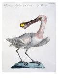 Pelican, c.1767-76