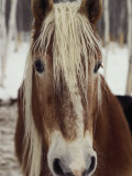 """Close View of a Horse Named """"""""King"""""""" in Winter"""
