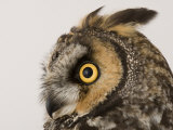 Profile of the Head of a Long-Eared Owl, Asio Otus