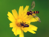 Two Flies Pollinate a Yellow Flower