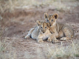Two African Lion Cubs, Arm in Arm, as They Play in Kenya