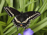 Black Swallowtail Butterfly, Papilio Polyxenes, Among Plants