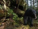 Black Bear Who Strips Bark Off of Redwood Trees to Get at Sap