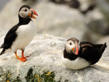 Two Atlantic Puffins on a Rock. One Is Calling