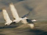 Three Sandhill Cranes, Grus Canadensis, in Flight, Showing Motion
