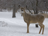 White-Tailed Deer, Odocoileus Virginianus, in a Snowy Landscape